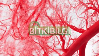 Sıvı Propolis Metabolik ve Kardiyovasküler Sağlık